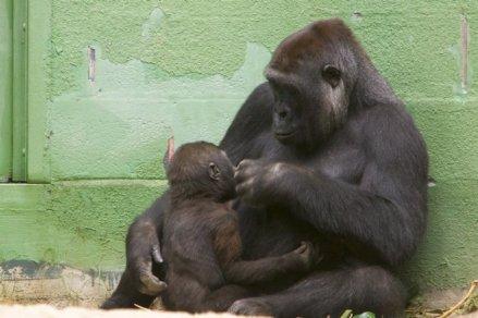 Nursing Gorilla