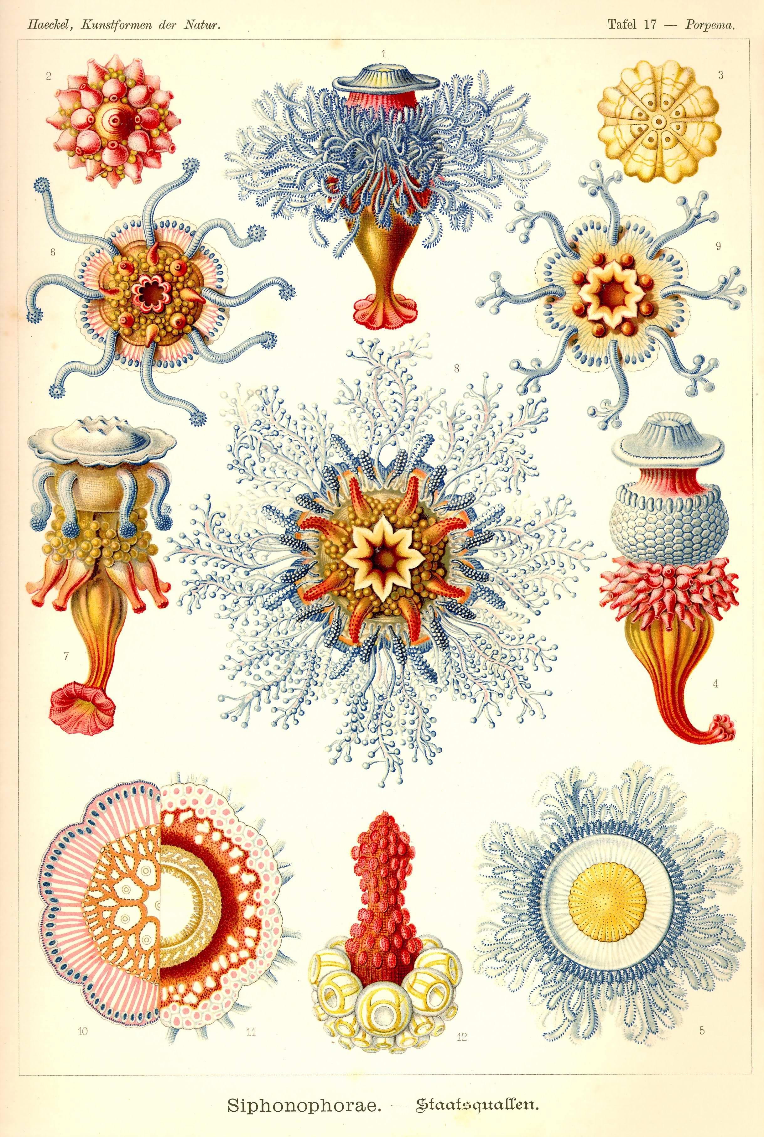 Jellyfish Natural History