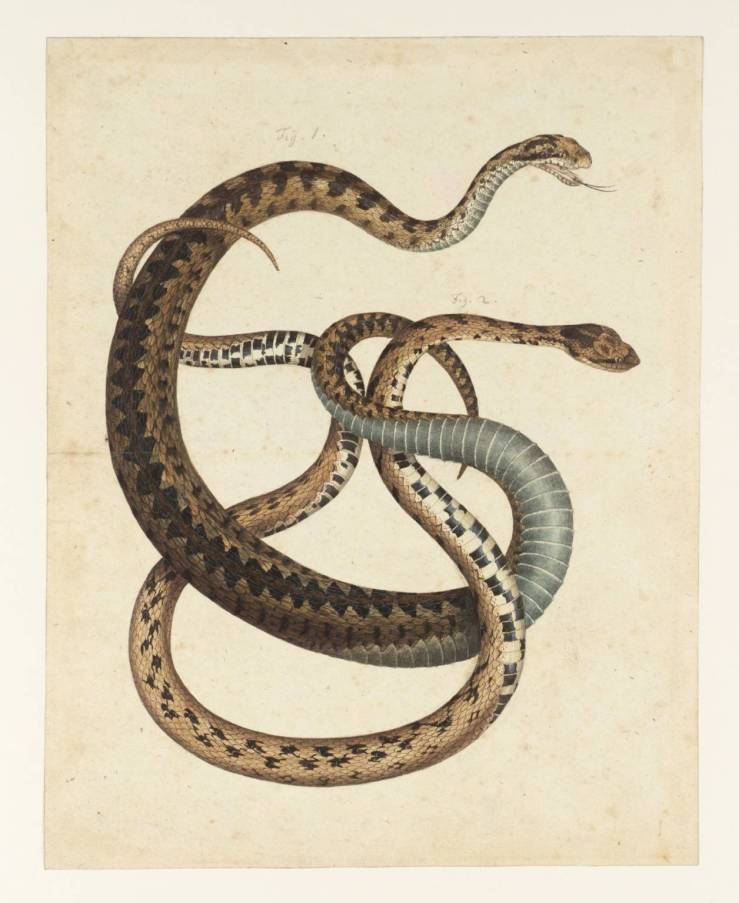 Two Snakes null by Albertus Seba null