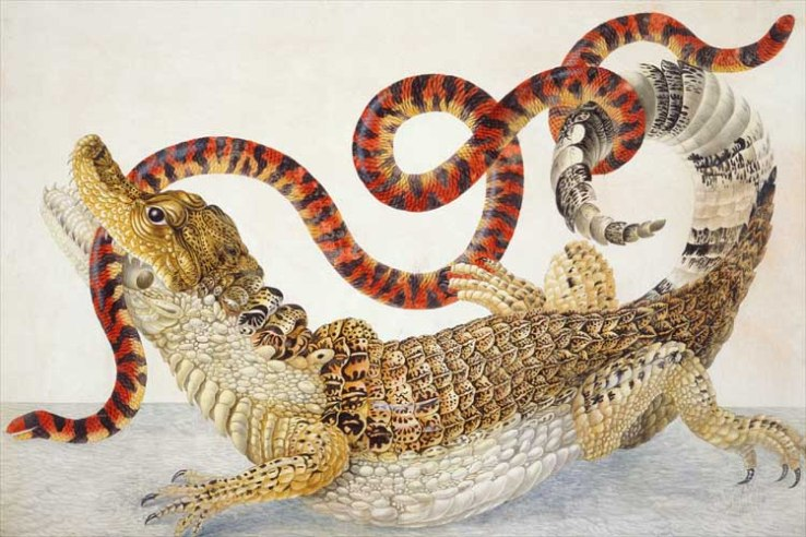 illustration_of_a_caiman_crocodilus_and_an_anilius_scytale_1701-1705_by_maria_sibylla_merian