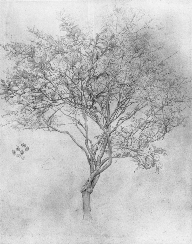 leighton-study-of-a-lemon-tree